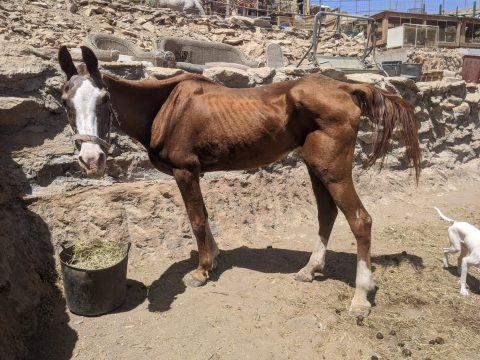 skinny rescue horse