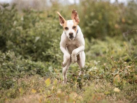 crazy pointer dog