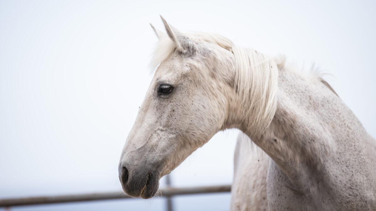 white rescue horse