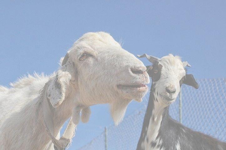rescue goats
