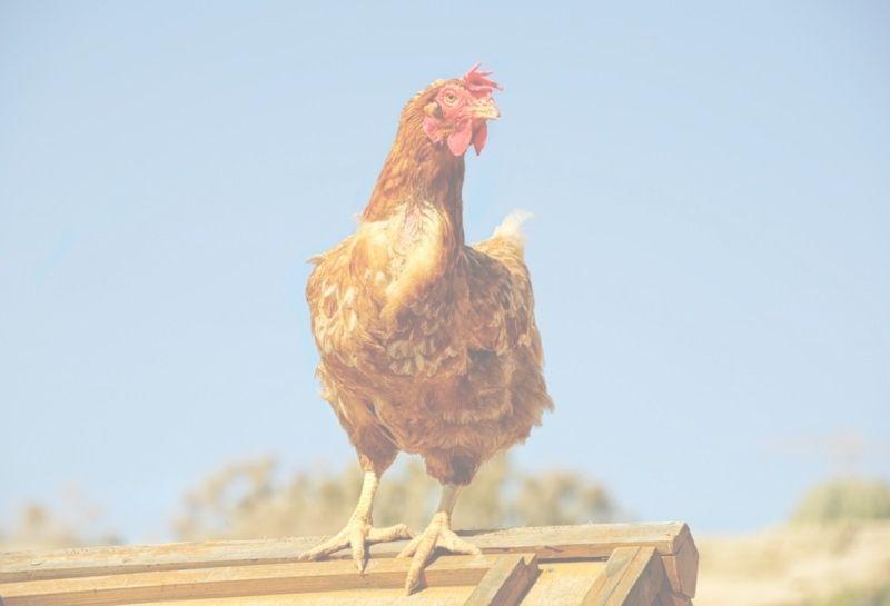 rescue chicken