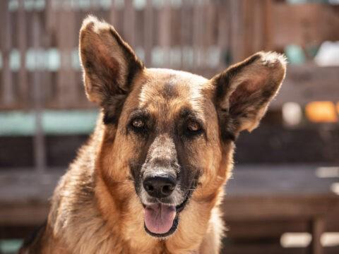 rescue german shepherd