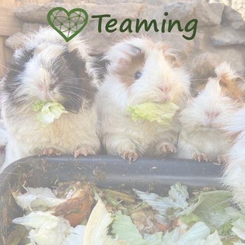 rescue guinea pigs