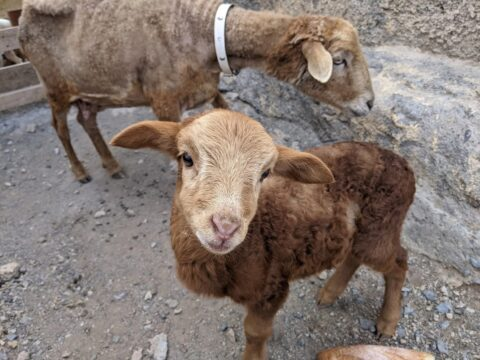 poor sheep mum and baby