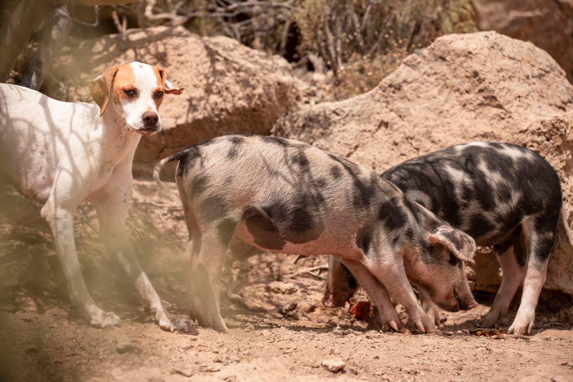 gerettete Schweine